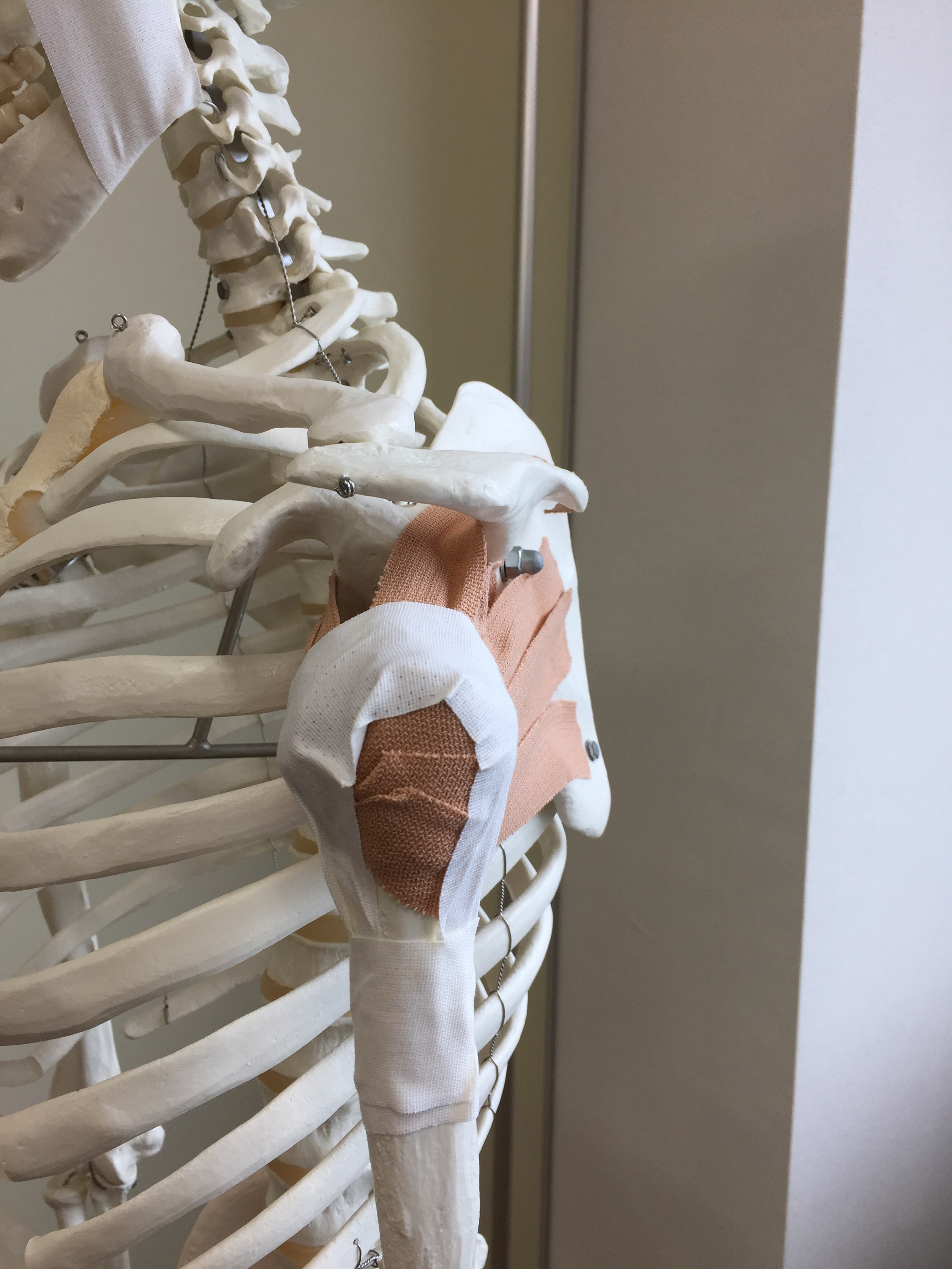 次はローテーターカフを骨模型に張ってみた!